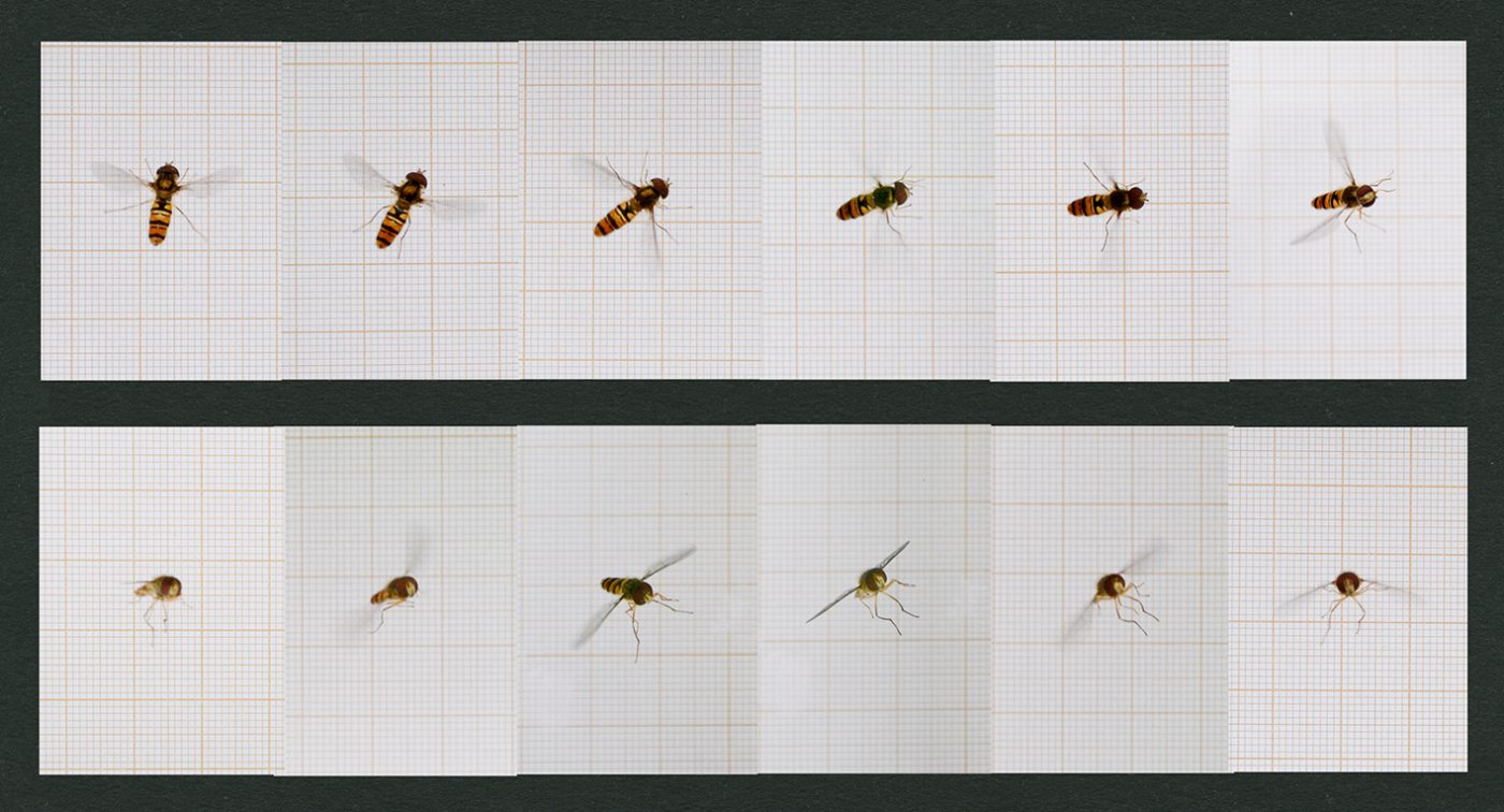 Insect Locomotion (Eadweard Muybridge)